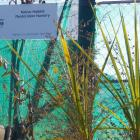 Te Kakano Aotearoa Trust plans to expand its plant nursery soon as it has outgrown its current...
