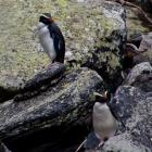 Fiordland crested penguins in Fiordland. Photo supplied.
