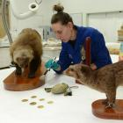 Otago Museum conservator Lisa Yeats removes dust from a wolverine which will be one of more than...