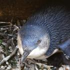 A 10-year-old female sits on the first chicks of the season at the Oamaru Blue Penguin Colony....