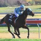 Nakayama, in the hands of jockey Corey Campbell, wins the second race at the Oamaru Jockey Club...