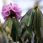 Rhododendron magnificum. Photo: Gerard O'Brien