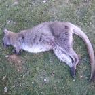 This wallaby was shot above Wedderburn by a deer hunter last Saturday. It is the fifth to be shot...