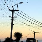 Dunedin boutique electricity retailer Payless Energy moving up the ranks; pictured, starlings on...