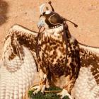 The majority of the falcons used each year in the Arabian peninsula are imported from overseas....