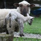 A newborn lamb near Mosgiel  enjoys the close attention of its mother last season. Photo: Gregor...