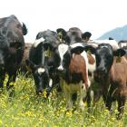 Beef is part of the economic backbone for a lot of rural communities in South Canterbury, Jason...