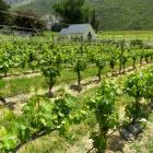 The  vineyard of Waitiri Creek, Gibbston. New Zealand winegrowers are anticipating another record...