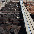 Prices across all classes of cattle lifted over the past quarter in New Zealand. Photo: Gregor...
