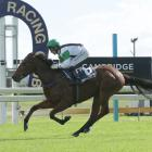 Wekaforce is the favourite for the tomorrow's Canterbury Belle Stakes at Riccarton. Photo: Trish...