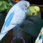 The Auckland couple's much-loved birds Flocke and Urmel. Photo: Supplied via NZ Herald