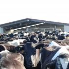 Favourable weather has boosted dairy production in the early stages of the season. Photo:...