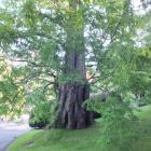 This dawn redwood (Metasequoia glyptostroboides) at Tupare, in Taranaki, is one of New Zealand's...