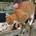 Orville the cat helps Julian Price sort ewe hoggets at Creedmoor, near Incholme, North Otago....