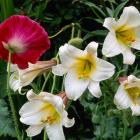 Lilium regale (right) and papaver rhoeas. Photo: Getty Images