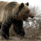 There are an estimated 15,000 grizzly bears in British Columbia. Photo: Reuters