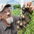 Jim O'Gorman, of Kakanui, holds some of his Jersey Benne potatoes that will be served to Prince...