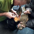 Kea researcher Corey Mosen takes blood from a kea at The Remarkables ski area. Photo: Kea...