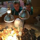 Five-year-old twins Lucas and Harry Reid check out the 1-day-old chicks for sale at the Ashburton...