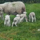 Mum dotes on her sextuplets. The sixth lamb is partly obscured at left. Photo: Supplied