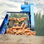 Carrots are mechanically harvested in a paddock in Ettrick. Photo: Yvonne O'Hara
