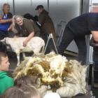 A newly short Suzy stands near her 14.6kg fleece. Photo: Supplied via RNZ