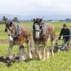 Tom Fowler operates his more than 100-year-old plough on the Taieri last year. PHOTO: ODT FILES