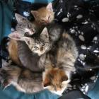 Some of the kittens recently rescued by Queenstown Cat Rescue. Photo: Scene