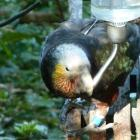 A newly banded juvenile female kaka takes a drink at a feeding station. Photo: Alyth Grant
