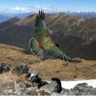 "American tourist Phil Narodick has captured a ""once in a lifetime"" photograph of a flying Kea on..."