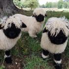"""The Swiss Valais Blacknose is known as the """"cutest sheep in the world'. Photo: Supplied via RNZ"""