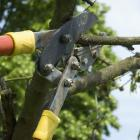 Without pruning, your fruit tree harvest may be plentiful, but small. Photo: Getty Images