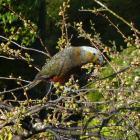 The wild kaka on an Otatara property in Invercargill last week. Photo: Nobby Clark