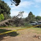 A tree collapsed onto several cars in Invercargill this afternoon. Photo: Sharon Reece