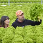 Saddleview Greens owners Hannah and Dale Jordan look over their mature lettuce crop near Mosgiel,...