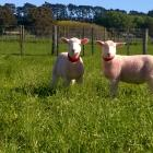 AgResearch senior scientist Dr Sue McCoard has been researching optimising lamb rearing practices...