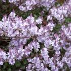Lilacs can be pruned when flowering has finished. Photo: Gillian Vine