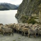 Nicky Mead, of Dingleburn Station, musters merino wethers around a road cut into the bluffs which...