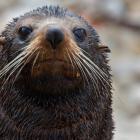 A NZ fur seal. Photo: Doc