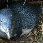 It is the second time  being a parent for this penguin at the Oamaru Blue Penguin Colony. Photos:...