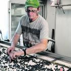 Phil McLennan sorting blueberries on his Ikamatua farm. Photo: Greymouth Star