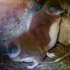 Two little blue penguin chicks relax in their box at Pilots Beach. Photo: Supplied