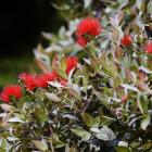 Plants throughout Dunedin are blooming exuberantly, including this southern rata at Bracken's...