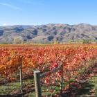 Increasingly warmer temperatures are likely to see new varieties of grapes such as syrah and...