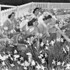 Nurses pose among the daffodils at the Truby King-Harris Karitane Hospital at Andersons Bay,...