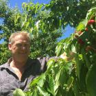 Cromwell grower Mark Jackson puts in the work earlier in the cherry season. Photo: Adam Burns