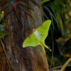 This African moon moth, Argema mimosae, is big, yellow-green and has long tails on its wings....