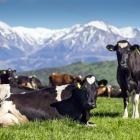 The first Waikato dairy farmers have been signed up to supply Synlait's new factory being built...