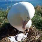 "A newly hatched ""Royal Albatross"" chick with its parent at Taiaroa Head. Photo: Supplied"