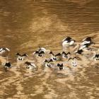 Pelicans swim in the muddy waters of the Darling River earlier this month. Local communities in...